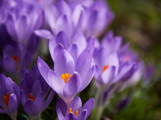 A selection of Crocus